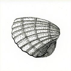 Drawing of a sea shell in pen and ink (1)