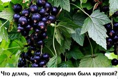 ЧТО ДЕЛАТЬ ЧТОБ СМОРОДИНА БЫЛА КРУПНОЙ? Хороша смородина в саду! Что черная, что красная, что белая, что золотистая... У каждой свои витамины, свой вкус. Садоводы уже вывели такие сорта, которые дают ягоды размером до двух сантиметров в диаметре. Уже не новость-шесть-семь килограммов урожая с куста, а то и больше. КАЖДЫЙ ГОД-НОВЫЙ КУСТ. На многих садовых участках сегодня есть такие сорта. Но вот беда: через пять-шесть лет ягоды начинают мельчать, а урожайность падать. Омолаживание куста…