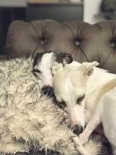 Two of the pack #whippets #home #sophiathewhippet #xicathesmallwhippet