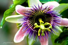 Passiflorae. Ini jenis konyal tapi bunganya sangat cantik passiflorae edule.