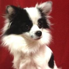 Auggie is an adoptable Papillon Dog in Hudson, NH. Auggie is an adorable mix of long haired Chihuahua and Papillon.� He is 1.5 years old and weighs 8.5 pounds.� He gets along well with other dogs his ...