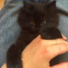#cute #kitten #playing #with #my #hand #black #long #fur #green #eyes #kittensfarm Black Kittens, Green Eyes, Fur, Photo And Video, Cats, Animals, Instagram, Gatos, Kitty Cats