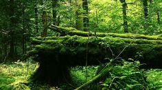 ビャウォヴィエジャの森。ここは、現在ヨーロッパにある森林の中で、唯一人間の手が加えらていない原生林です。