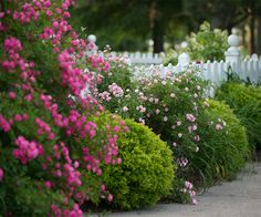 Nothing more beautiful than summer roses cascading down a lovely picket fence at Gorham's Bluff