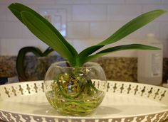 "Growing Orchids in Water - aka: ""Water Culture"" is an amazing way to grow orchids, especially if you love being able to see all the lush, green, sexy root nubs like me.  Plus, without media, you don't have to worry about having creepy crawlies hiding in the media and eating those tender roots."