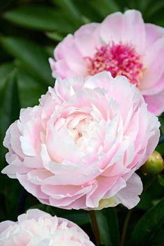 Luktpion, Paeonia lactiflora 'Mrs Franklin D. Roosevelt' (Mrs FDR) | Pion med stora, mjukt pärlemorrosa, rätt så löst fyllda blommor med gammaldags utseende och i så kallad rosform. Fin, söt doft. Mittenpartiet bleknar till gräddvitt. Kraftiga stjälkar men behöver ändå stöttas under blomning pga blommornas storlek. Kräver en framstående plats eftersom plantan växer kompakt. Ca 90 cm hög. Franklin (USA, 1932).