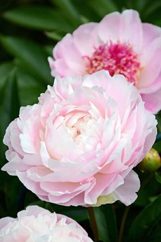 Paeonia lactiflora 'Mrs Franklin D. Paeonia Lactiflora, Floral Artwork, Oil Painting Flowers, My Secret Garden, Flowering Trees, Flower Photos, Spring Flowers, Beautiful Gardens, Flower Designs