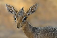 The noble Dikdik, standing at about a foot, it is the cutest of the African antelope