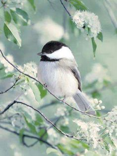springtime chickadee                                                                                                                                                                                 Plus