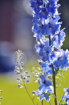 Delphinium in Light #flowers