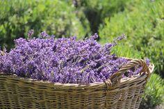Z letošní sklizně...  #levandule#lavender#sklizen#Kokorinsko#levandulepetrzilka#
