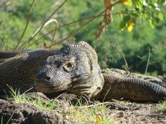 Komodo Dragon Tours are the exciting tour packages to explore the amazing small islands encircle by the sea to discover the biggest dragon in the world living free in their habitat. http://www.ktwtours.com/komodo