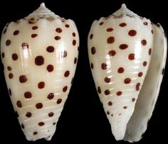 Conus pulicarius specimens collected from Pago Bay, Guam. C. pulicarius is a vermivorous cone snail that inhabits shallow coastal waters throughout the Indo-Pacific.