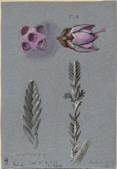 Ruskin, John - Four Studies of Ling Botanical Drawings, Botanical Illustration, Botanical Prints, John Everett Millais, Blue Weave, John Ruskin, Toned Paper, Drawing Websites, All Nature