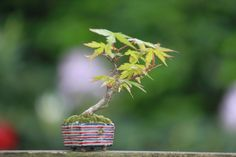 Super mini bonsai blog -2 page