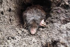 Everything you should know about the mole. The mole is a small, burrowing mammal that lives underground. These interesting animals are considered pests. Moles In Yard, Getting Rid Of Gophers, Mole Concept, Mole Repellent, Mole Day, Bug Spray Recipe, Weed Killer Homemade, Dawn Dish Soap, Mole