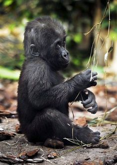 Photo of Gorilla for fans of Monkeys 14750679 Primates, Nature Animals, Animals And Pets, Cute Baby Animals, Funny Animals, Baby Gorillas, Cute Monkey, Funny Birds, Cute Frogs