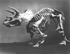 The original 1905 skeletal mount of Triceratops horridus at the Smithsonian. This was the world's first mount of a horned dinosaur, and included skeletal elements from over a dozen different individuals, some of which weren't the same size and gave us bones that were too small for the skeleton. It also contained several sculpted elements that technicians made by hand, and the foot bones of a different dinosaur, a duckbill dinosaur, to replace missing Triceratops bones.