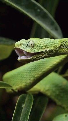 Pretty Animals, Cute Baby Animals, Animals Beautiful, Funny Animals, Cute Reptiles, Reptiles And Amphibians, Nature Animals, Animals And Pets, African Bush Viper