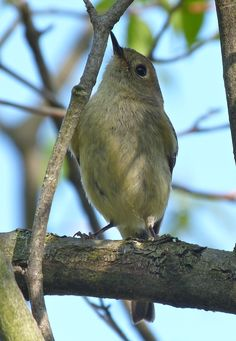"""Tiny Ruby-crowned Kinglets did their best to confuse the birders, """"Which warbler is this now?"""" - Leica V-Lux 3 #biggestweek https://www.facebook.com/photo.php?fbid=444659572229087=a.444659055562472.117192.355103211184724=3"""