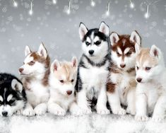Google Image Result for http://stuffpoint.com/husky/image/60661-husky-snow-dogs.jpg