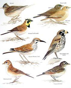 Larks  Skylark Horned Lark Singing Bushlark by mysunshinevintage