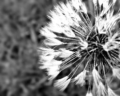 #photographynature #myphotography black and white dandelion puff