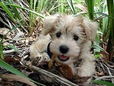 Schnoodles ... Great dog!! I should know...because I have one.