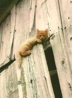 Curious Kitten On Old Barn Door Little Ginger Kitten Baby Animal Photography On…