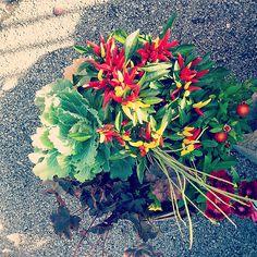 Angelonia plant home angelonia 39 archangel 39 perennials for Idea garden monselice orari
