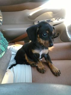 Dogs Breeds - Fun Ways To Care For Your Canine * To view further for this article, visit the image link. Cute Puppies, Cute Dogs, Baby Animals, Cute Animals, Cute Animal Pictures, Animal Pics, Weenie Dogs, Dachshund Love, Dog Care