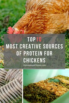 Are you planning to feed your chickens with protein-rich foods? So, here is a list of the foods packed with protein for chickens.