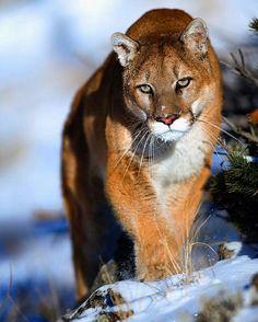 Mountain lion - Puma - Cougar.