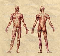 anatomia człowieka układ mięśniowy - Szukaj w Google