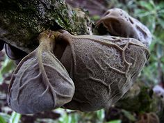 Ear Fungus (Wood ear or Jews ear)