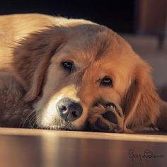 Golden Retriever.......photo by Gooseneck79 - Pixdaus