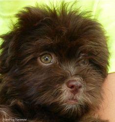Puppies For Sale - HavaHug Havanese Puppies Havanese Puppies For Sale, Havanese Dogs, Baby Puppies, Cute Puppies, Cute Dogs, Dogs And Puppies, Shitzu Puppies, Yorkie, Doggies