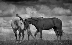 Stormy Calm                            A sudden storm and fast moving wind caught these horses in the open.  Photo by Richard_J