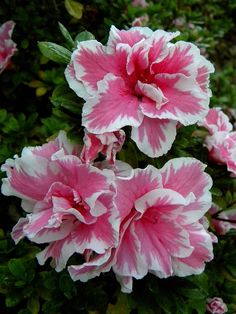 Azalea.. have to fine these for my back yard