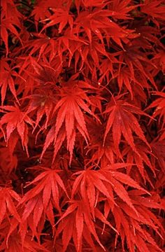 Nicholsoni. Grows to 12-15 ft high and 12-15 ft wide. Red Maple....