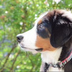 額から鼻にかけてシュルルン 何度でも撫でたくなるなぁ  #sideprofile  何かを真剣に見つめてる横顔も可愛いよね  @wu_mw クッキーママ 横顔探すの楽しかったよありがとう .  #berner #bernese #bernersennen #bernesemountaindog #dog #dog_features #dogoftheday8 #instadog #worldwidedogs #lacyandpaws #LANDA #excellent_puppies #puppy #puppylove #puppyoftheday #berneroftheday #バーニーズマウンテンドッグ . by dossowl