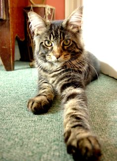 Claude the JL maine coon tabby cat, now 7 months old and already 5 1/2 kilos!