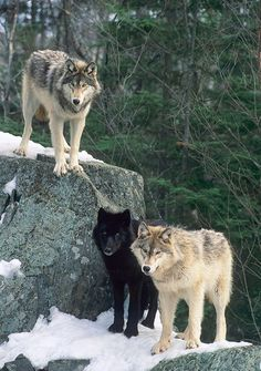 Similar to the other wolf picture, I chose this one because of Huntress, but in a more simple way. These wolves look hungry and ferocious , especially the black one. It's inspiring to know Taisin and Kaede did so well fending them off. Wolf Images, Wolf Photos, Wolf Pictures, Wolf Spirit, Spirit Animal, Beautiful Creatures, Animals Beautiful, Tier Wolf, Animals And Pets