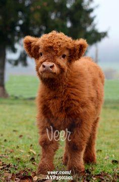 Scottish Highland cattle (Bos primigenius f. taurus) calf, Allgaeu, Bavaria, Germany, Europe Stock-Foto