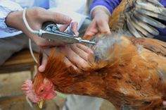 China Kills Market Birds as Flu Deaths Rise.  A deadly new strain of bird flu claimed a sixth life in eastern China on Friday as agricultural authorities in Shanghai ordered a wide-scale slaughter of poultry in an effort to stem the spread of the disease.  A 64-year-old farmer who died in Hangzhou, capital of eastern China's Zhejiang province, was confirmed to have been infected with the H7N9 virus, the official Xinhua news agency reported Friday, citing the local health bureau.