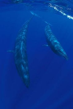 Sei whale  This fast cetacean inhabits all oceans and adjoining seas except in tropical and polar regions. The sei whale became a major target for commercial whaling after the preferred stocks of blue and fin whales had been depleted.