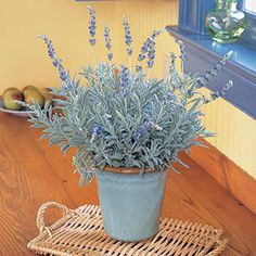 Goodwin Creek Lavender - a perennial evergreen hybrid of French lavender that grows to about 2' tall (3' with blooms). Likes to be in full sun and should be pruned 4-5 weeks into the blooming cycle to prevent the bush from becoming untidy. Works well as a border or edging plant.
