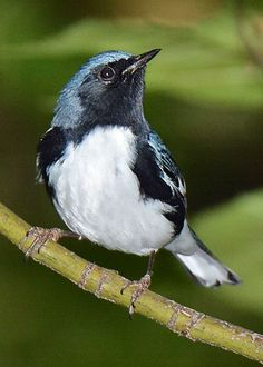 Black-throated Blue Greeting Card for Sale by Alan Lenk