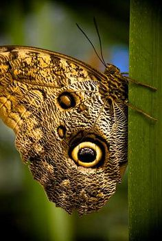 Endangered Species of Butterflies - Giant Owl Butterfly, named after huge eyespots which resemble owl' eyes