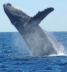 Picture of a humpback whale jumping out of water.
